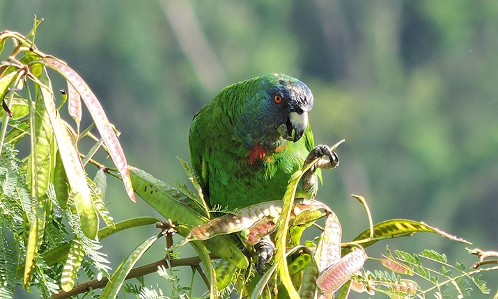 Red-necked Parrot (Latin: Amazon arausiaca, Local name: Jaco).